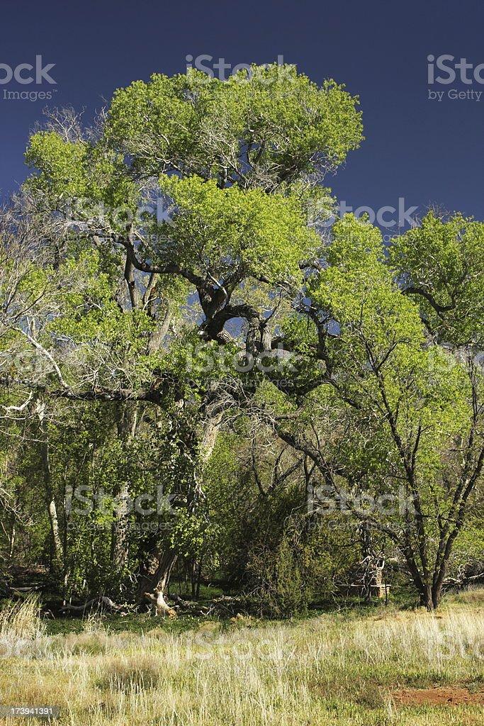 Sycamore Tree Foliage Wilderness Landscape stock photo