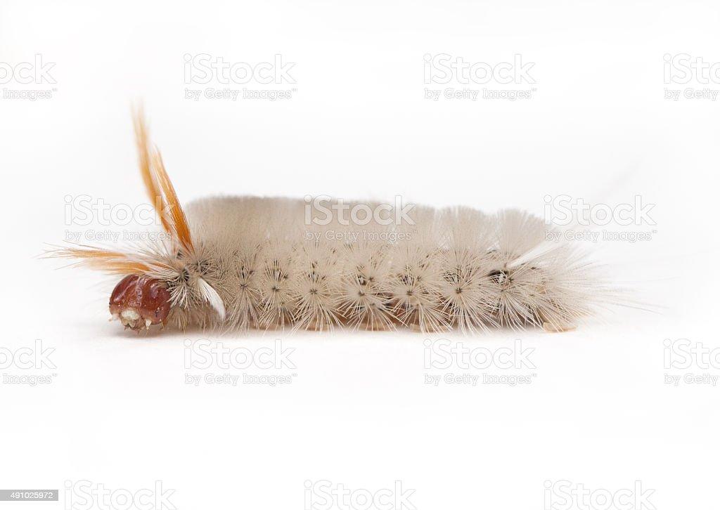 Sycamore Tussock Moth Caterpillar stock photo