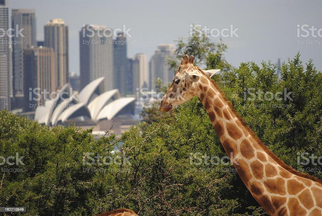 Sydney Giraffe royalty-free stock photo