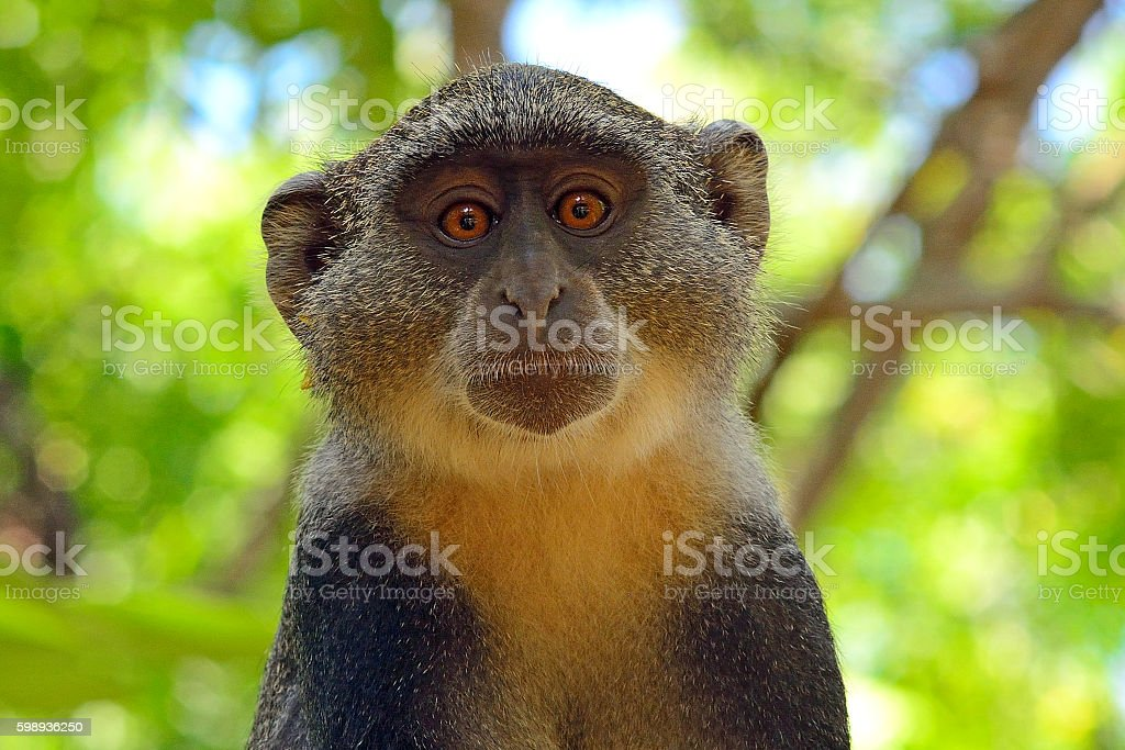 Sykes's monkey, Diani, Kenya stock photo