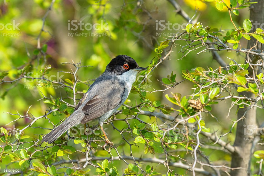 Sylvia melanocephala Sardinian Warbler, male stock photo