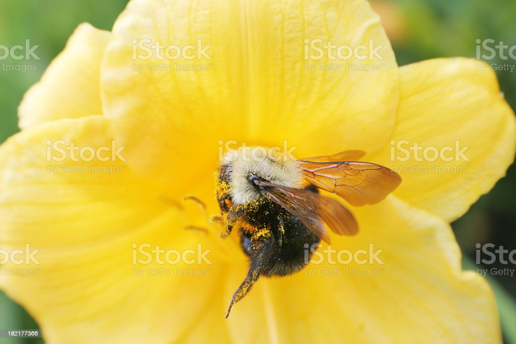 Symbiosis bumblebee stock photo