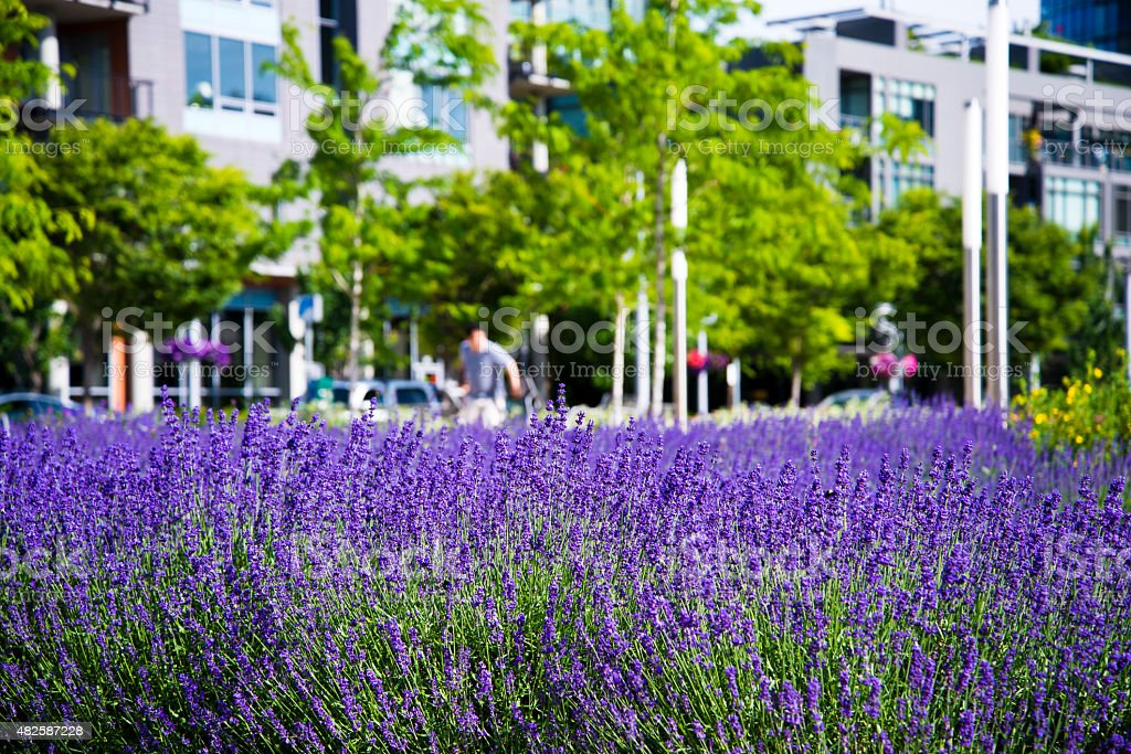 Symbiosis urban city modern life and natural lavender flowers meadow stock photo