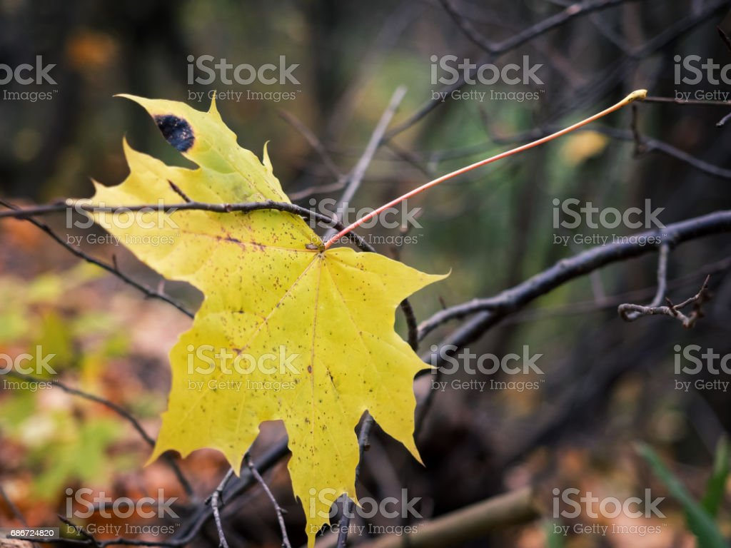 Symbol Of Autumn. Yellow maple leaf in the branches of a tree. Very shallow depth of field. stock photo