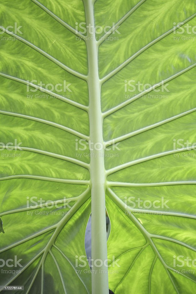 symetrical green leaf texture royalty-free stock photo