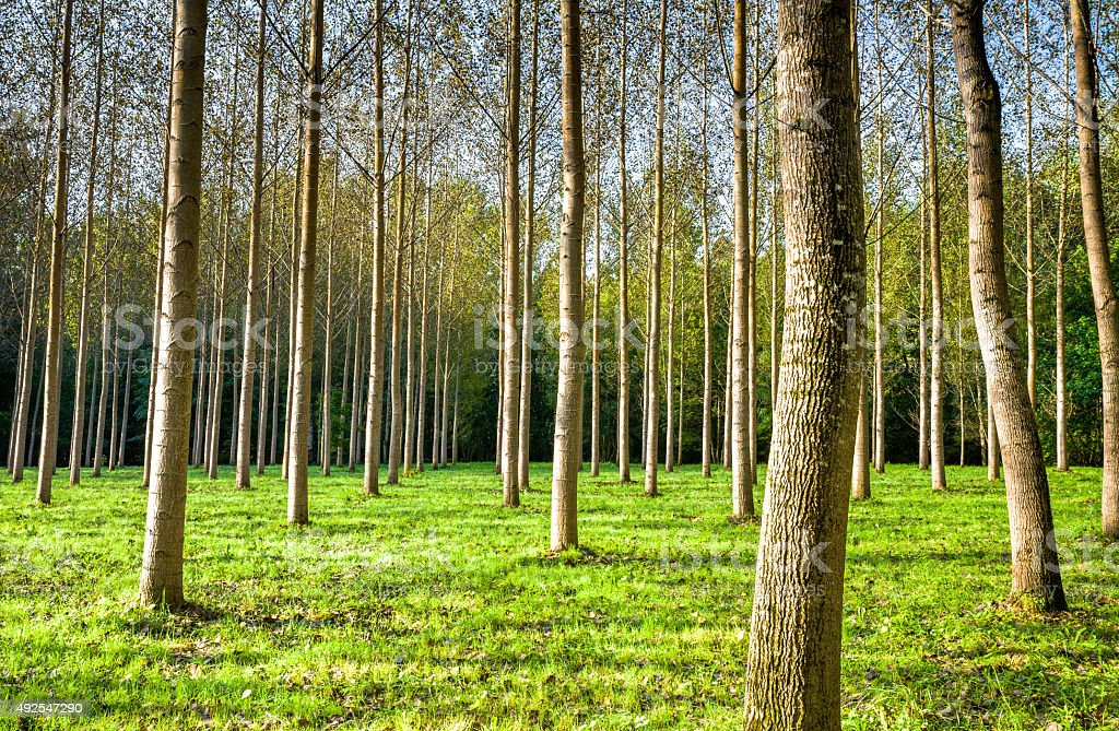 Symetrical Poplar Trees stock photo