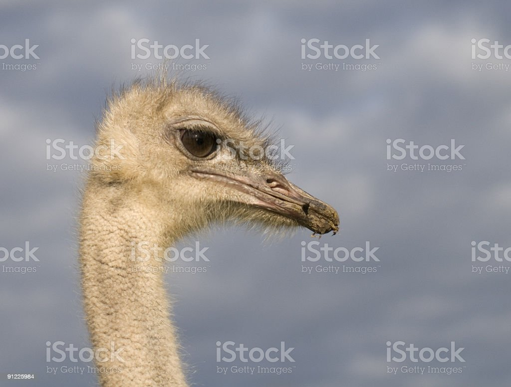 Sympathic Ostrich royalty-free stock photo