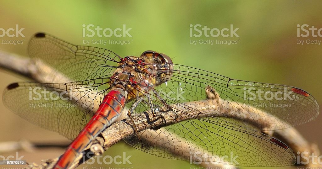 Sympetrum dragonfly with its wings fully extended stock photo