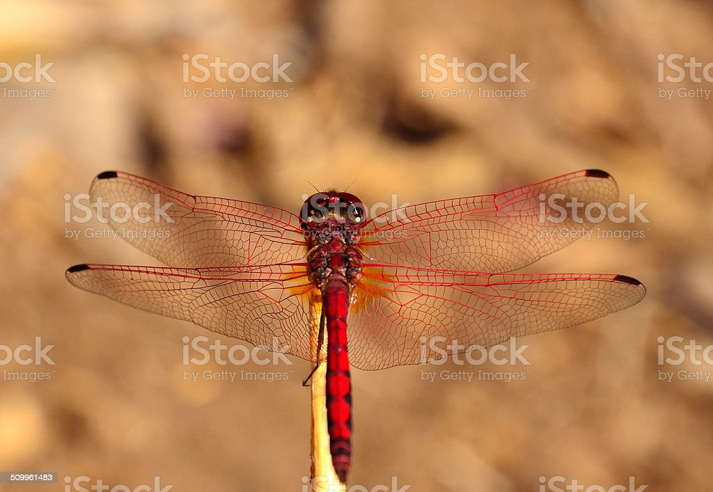 Sympetrum sanguineum with its long wings spread stock photo