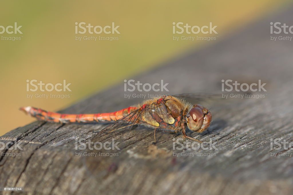 sympetrum striolatum dragonfly macro stock photo