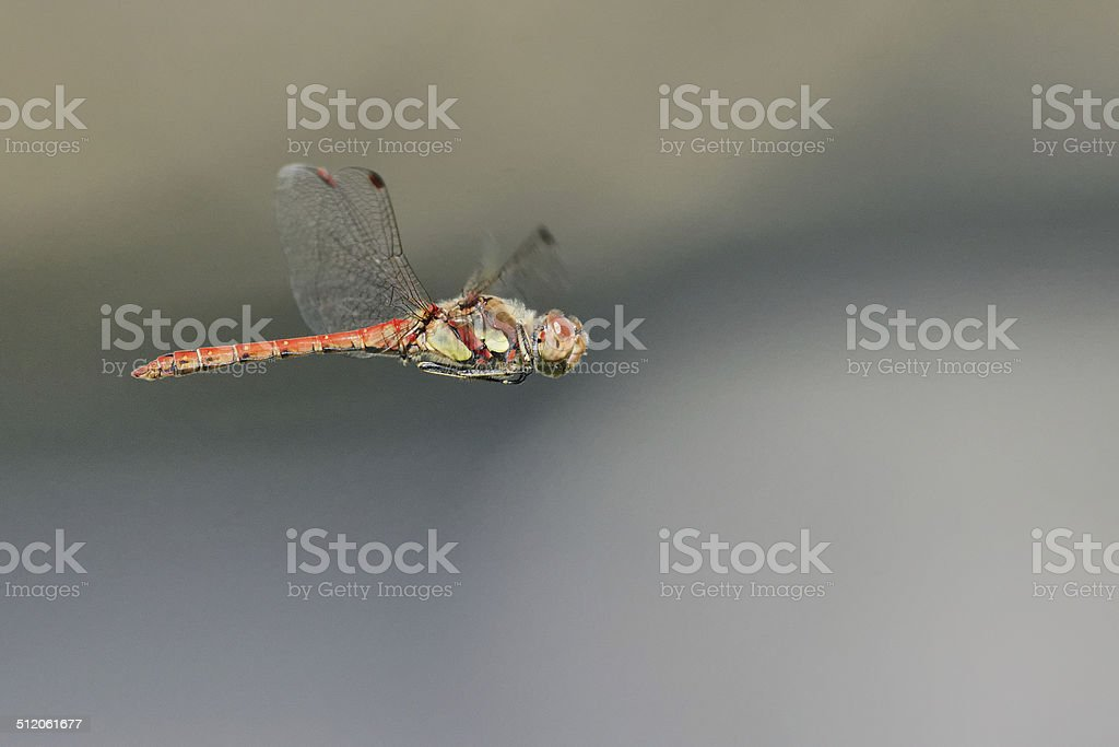 Sympetrum striolatum stock photo
