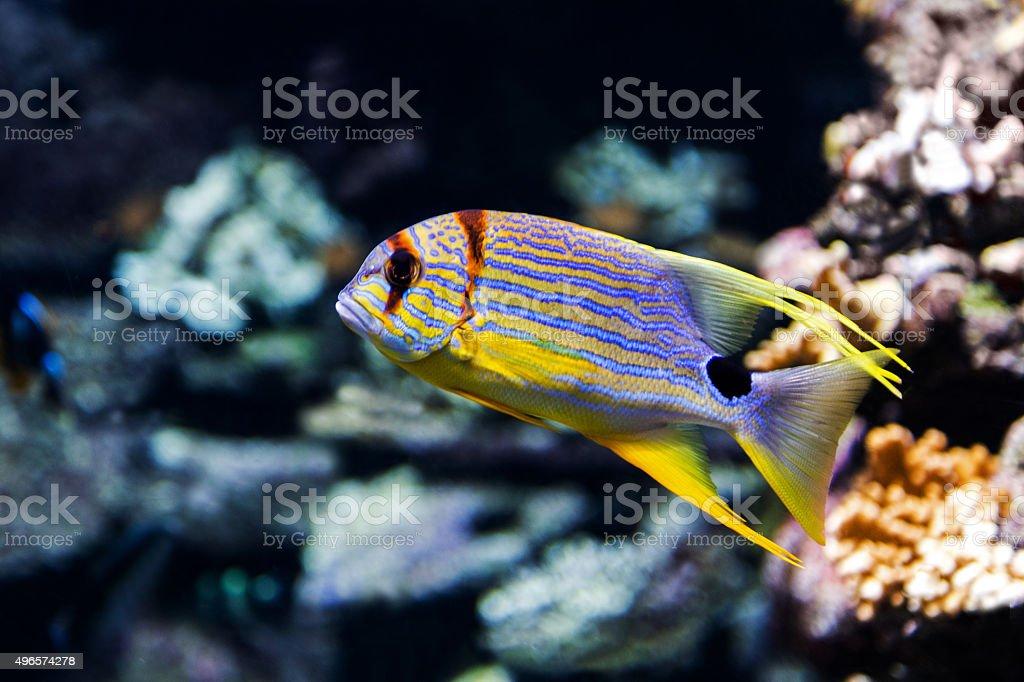Symphorichthys spilurus royalty-free stock photo