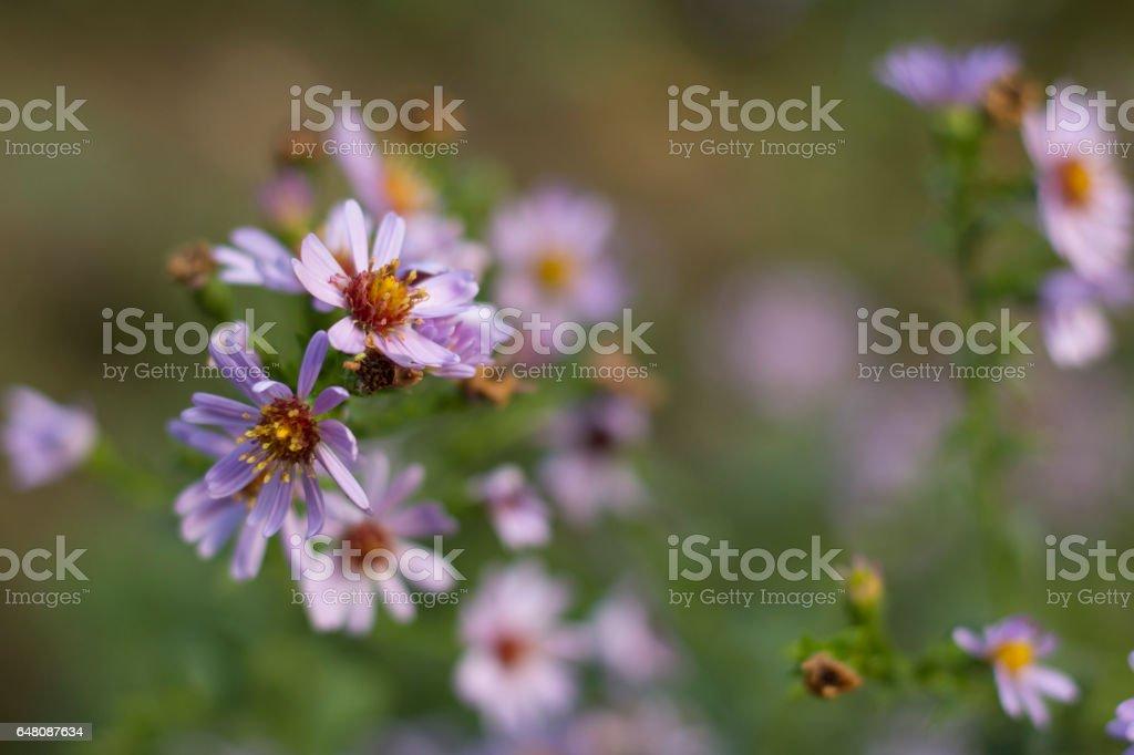 Symphyotrichum novae-angliae stock photo