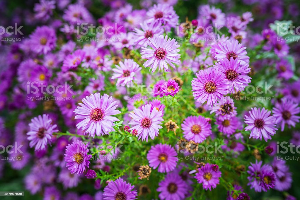 Symphyotrichum novi-belgii stock photo