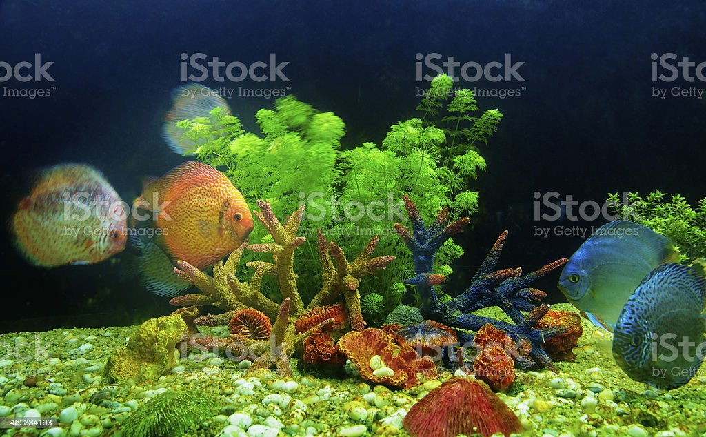Symphysodon discus and corals in an aquarium royalty-free stock photo