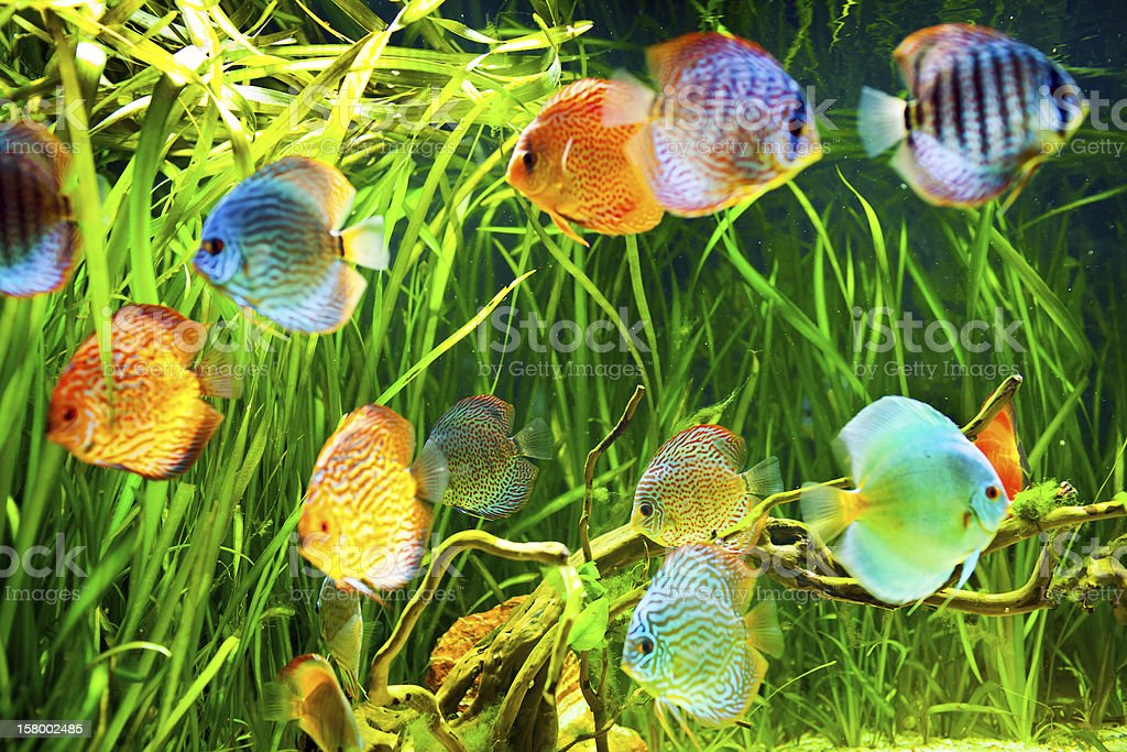Symphysodon discus stock photo