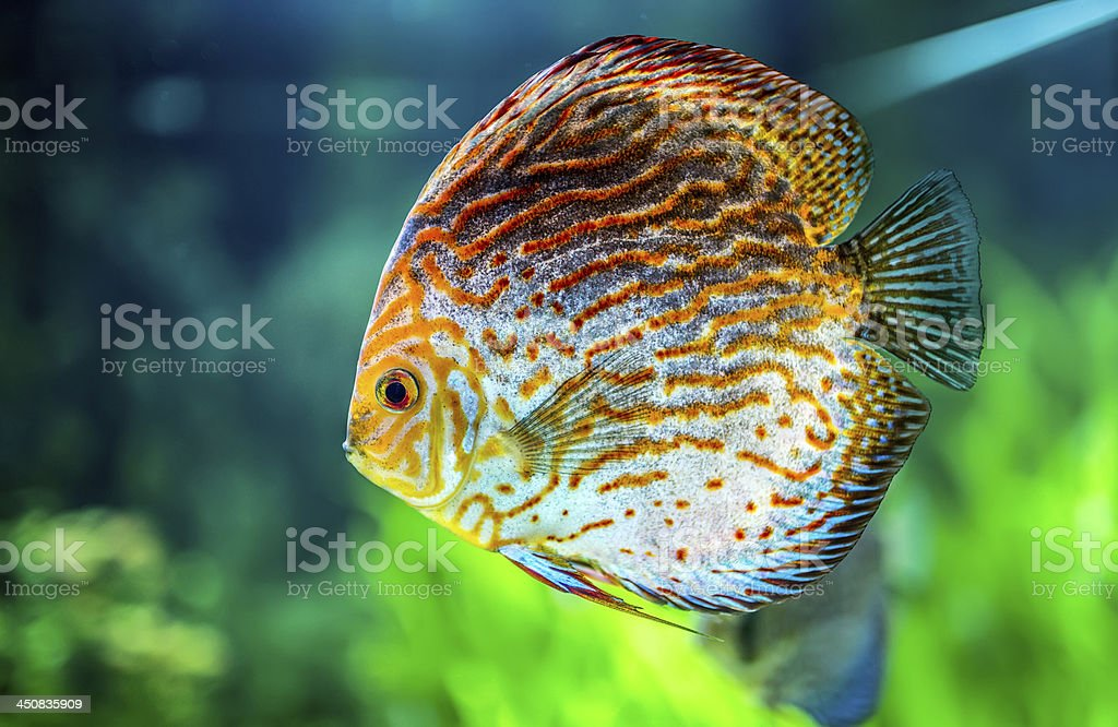 Symphysodon discus royalty-free stock photo