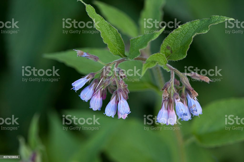 Symphytum Officinale - Medicinal Plant stock photo