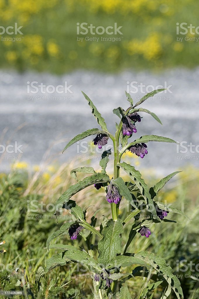 Symphytum officinale stock photo