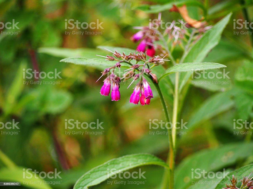 Symphytum x rubrum - comfrey stock photo