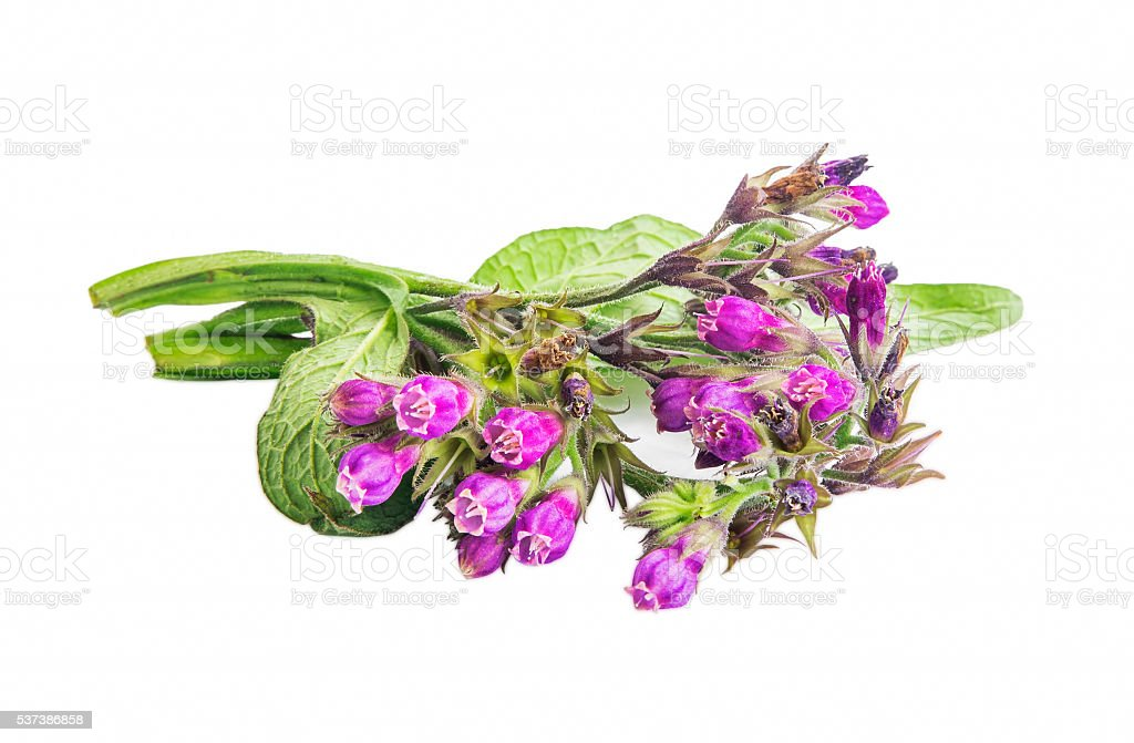 Symphytum.Comfrey medicinal plant isolated stock photo