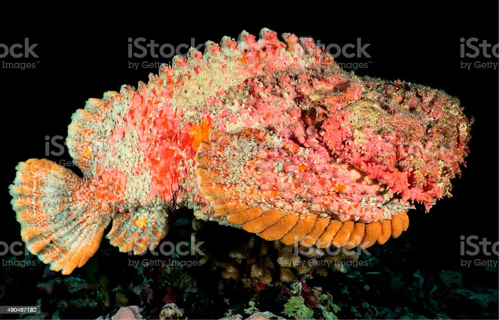 synanceia verrucosa / STONEFISH stock photo