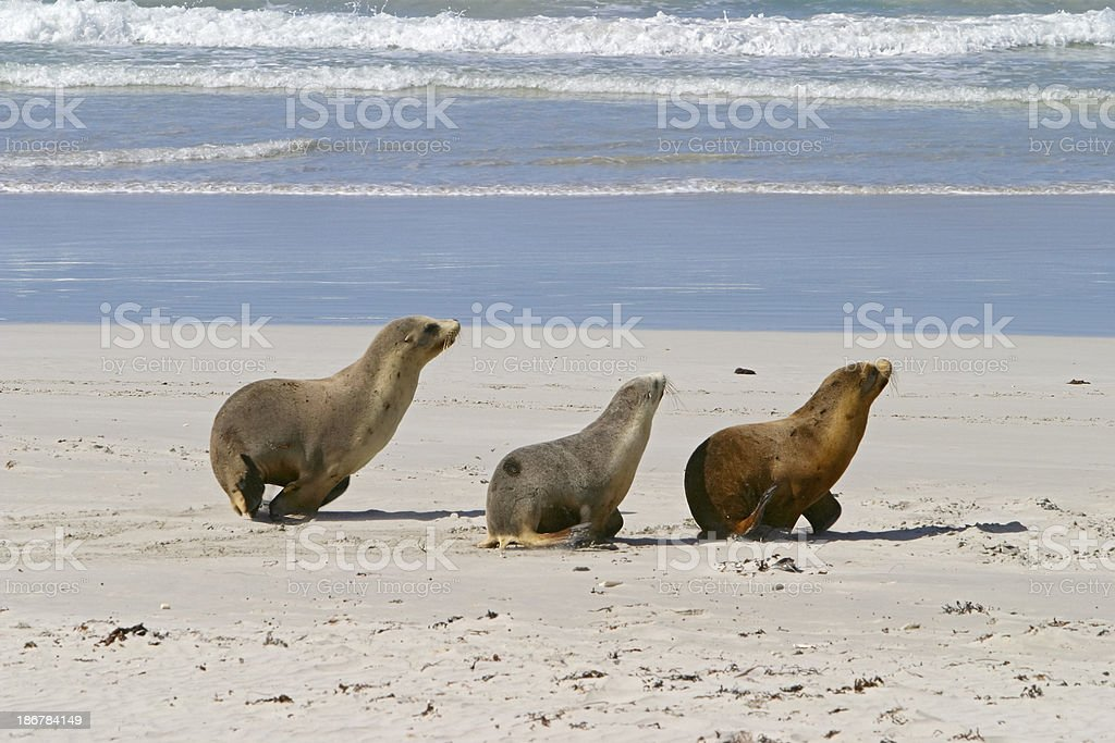Synchronised sea lion trio on the move stock photo