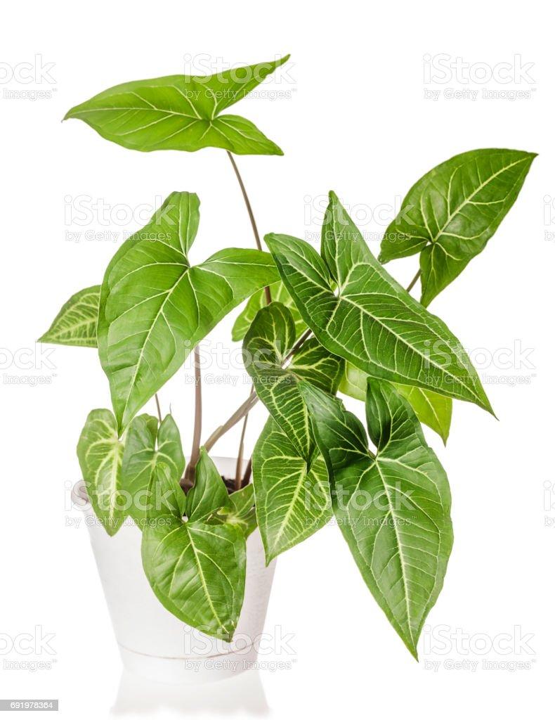 Syngonium plant growing stock photo