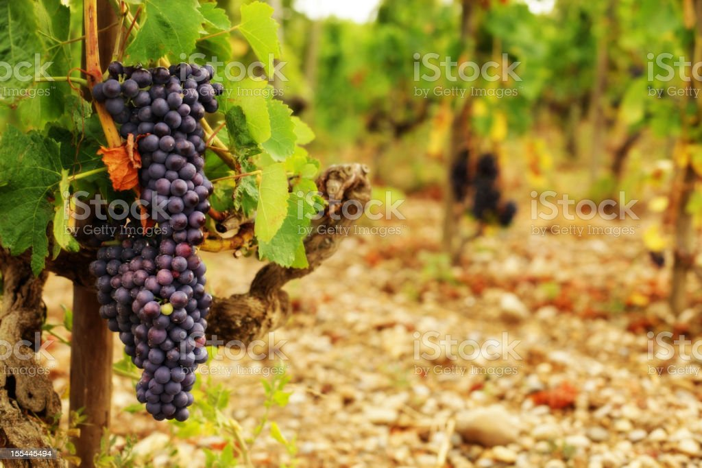 Syrah Grapes in French Vineyard stock photo