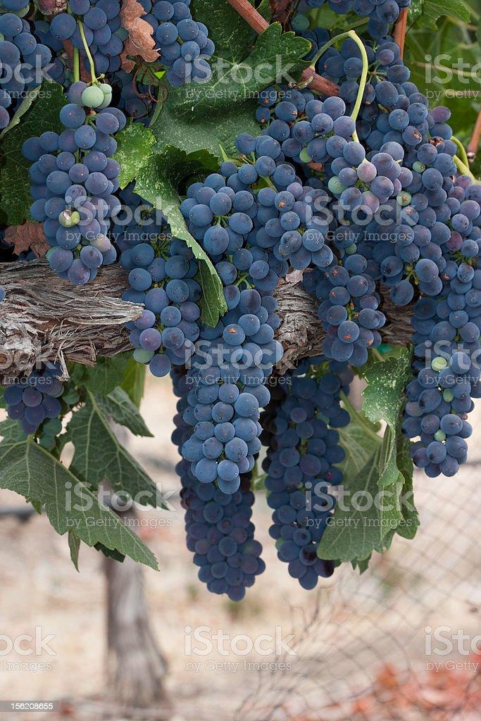 Syrah grapes stock photo