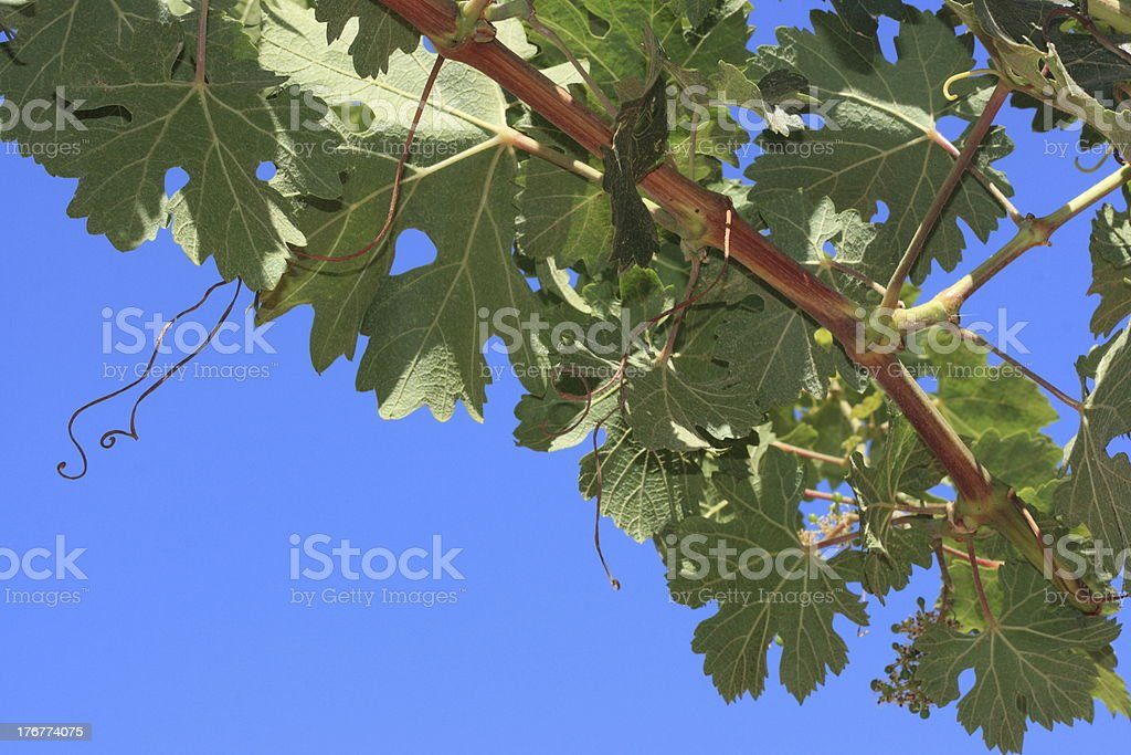 Syrah Grapevine branch with blue sky background stock photo