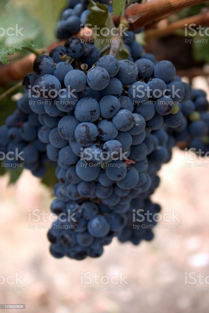 Syrah Wine Grapes stock photo