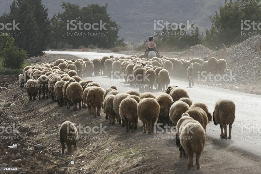 Syrian Flock royalty-free stock photo