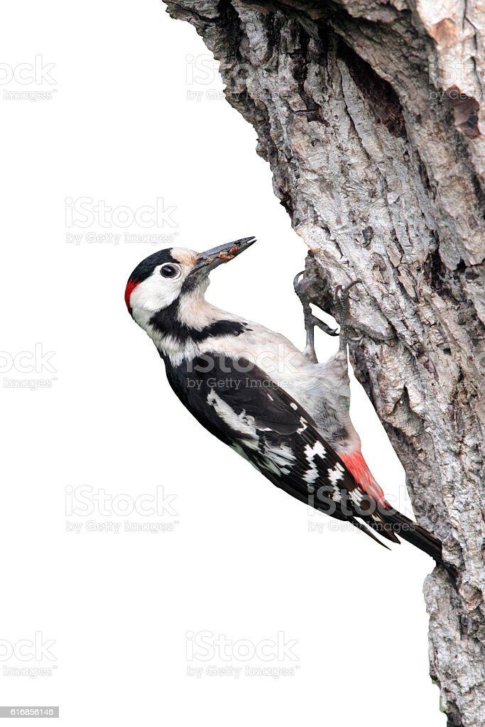 Syrian woodpecker, Dendrocopos syriacus, single male stock photo