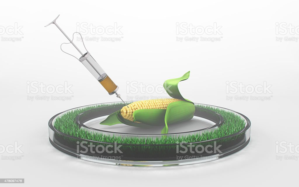 Syringe injects pesticide in an ear of corn onwhite background stock photo