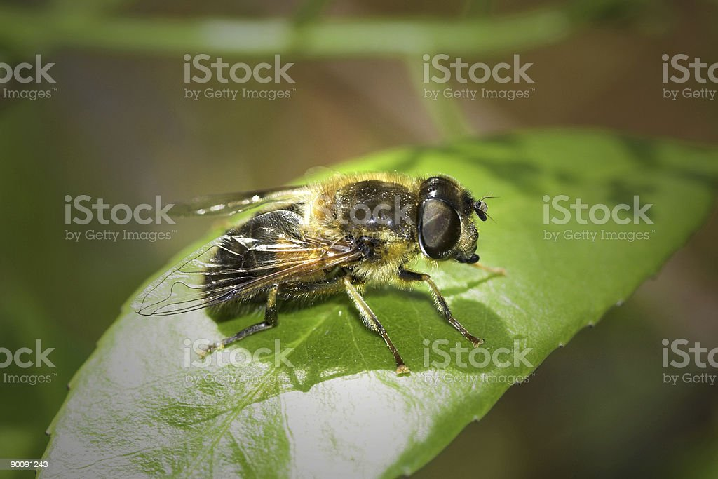 Syrphid Fly royalty-free stock photo