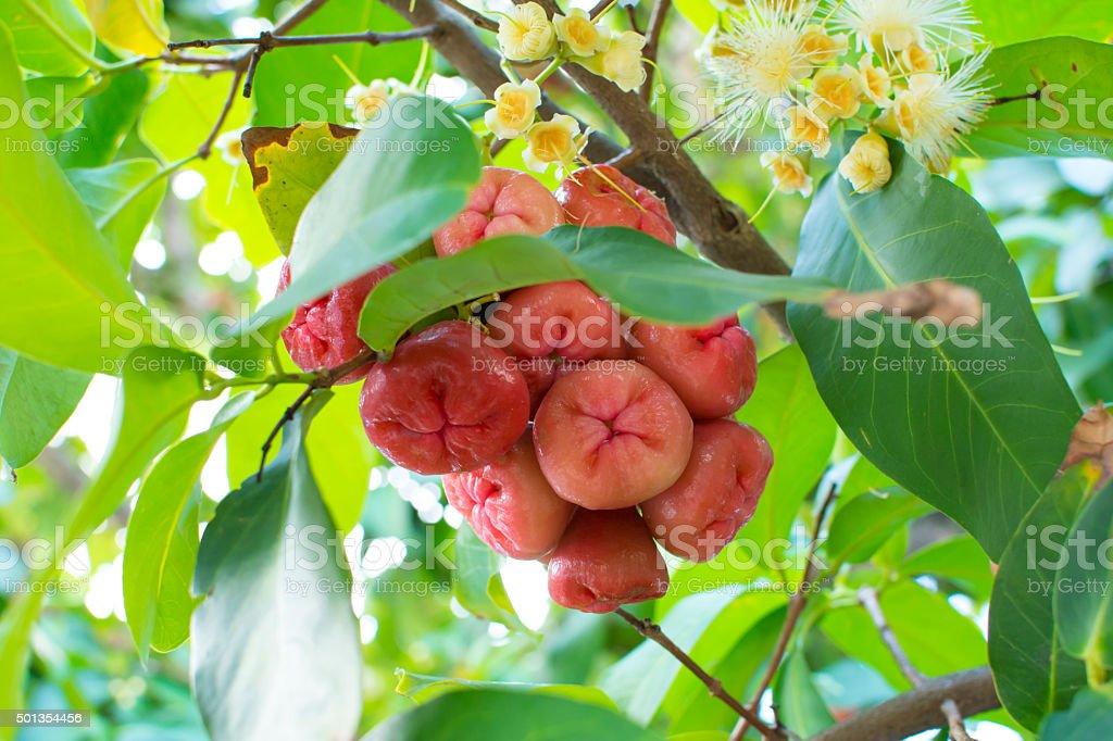 Syzygium jambos wax apples on tree stock photo