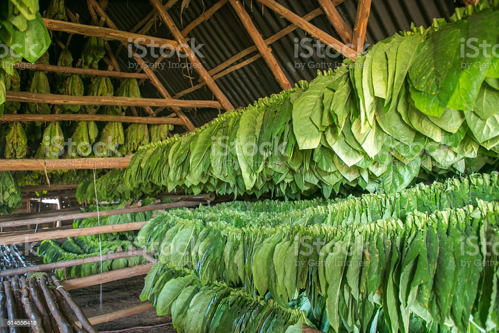 Tabacco plant leaves drying at pinar del rio cuba stock photo