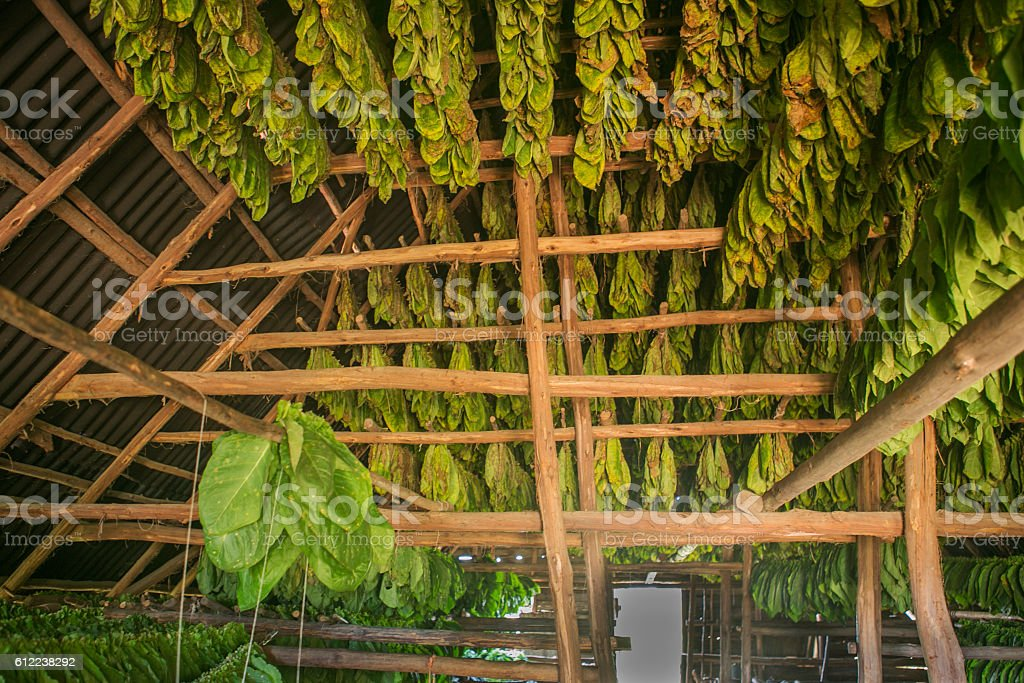 Tabacco plant leaves drying for cigar at pinar-del-rio cuba stock photo