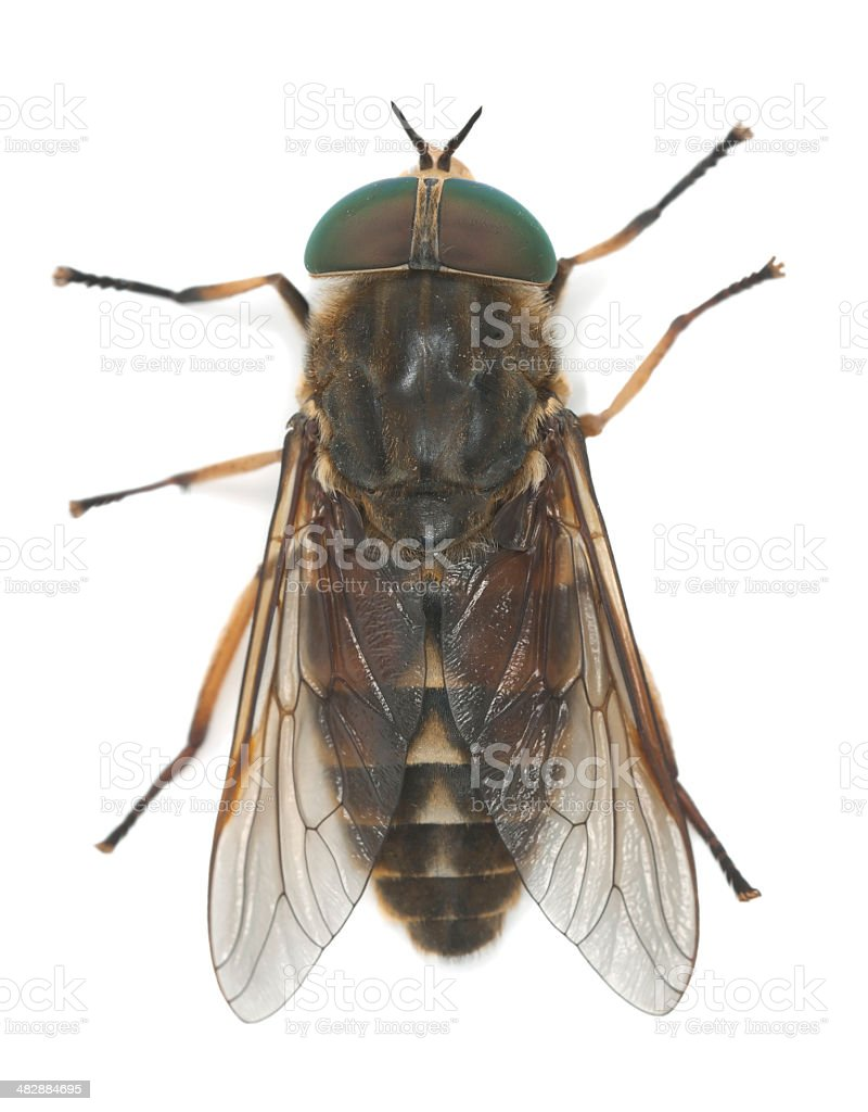Tabanus horsefly, macro photo royalty-free stock photo