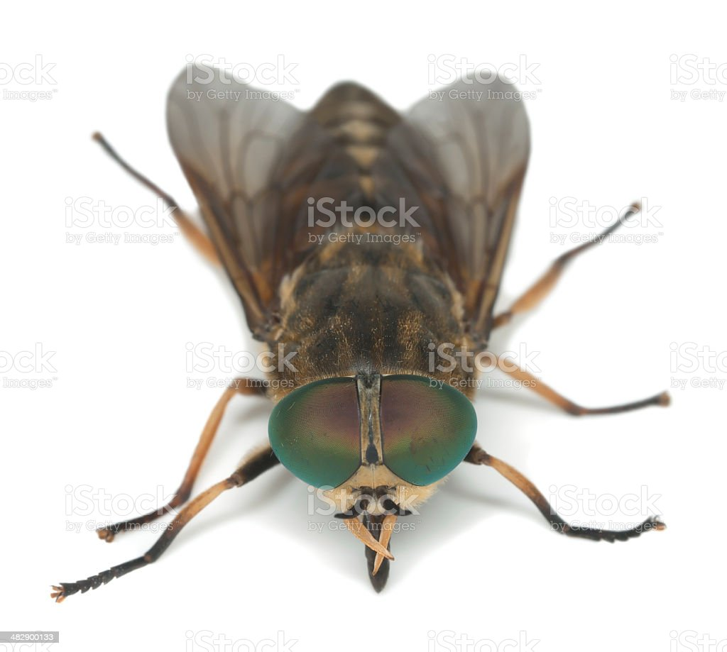 Tabanus horsefly, macro photo stock photo