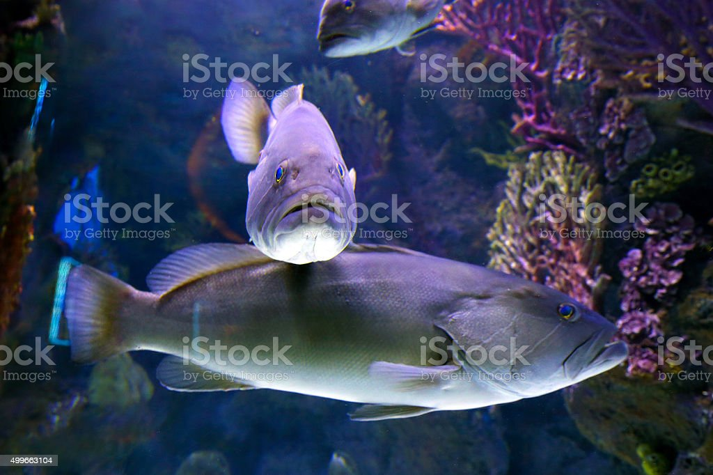 Tabarka, grouper (Epinephalus guaza). Mediterranean Sea stock photo