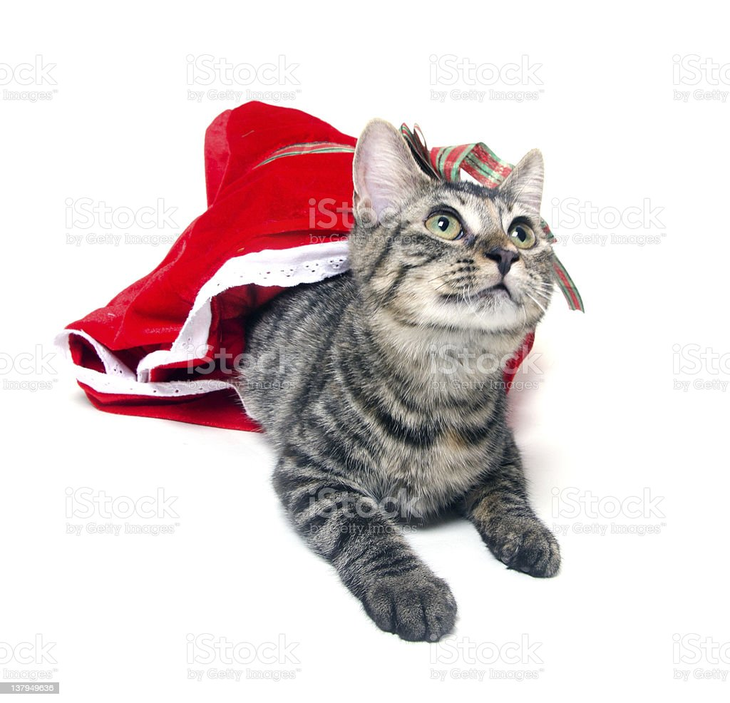 Tabby cat and red bag stock photo