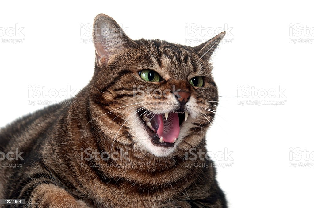 Tabby cat baring teeth and hissing stock photo