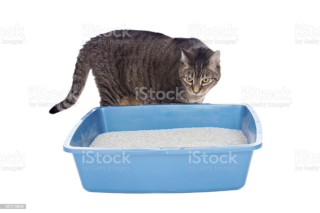 Tabby Cat Checking Out His Litterbox stock photo