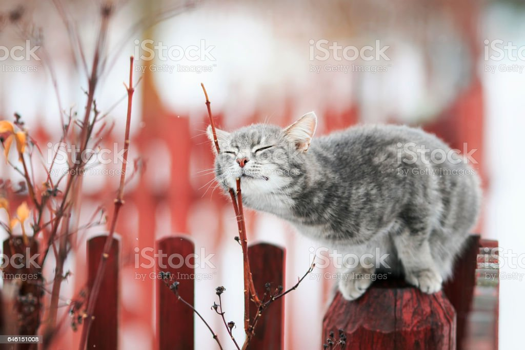 tabby cat fondled on a branch in spring on a fence stock photo