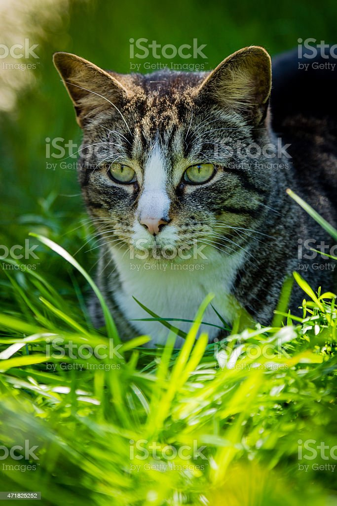 Tabby Cat in Tall grass stock photo