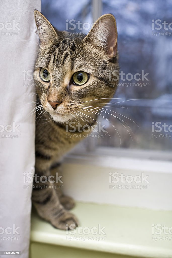 Tabby cat looking for mischief to get into royalty-free stock photo