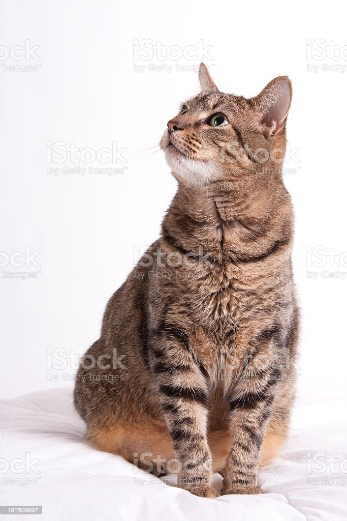 Tabby cat looks up stock photo