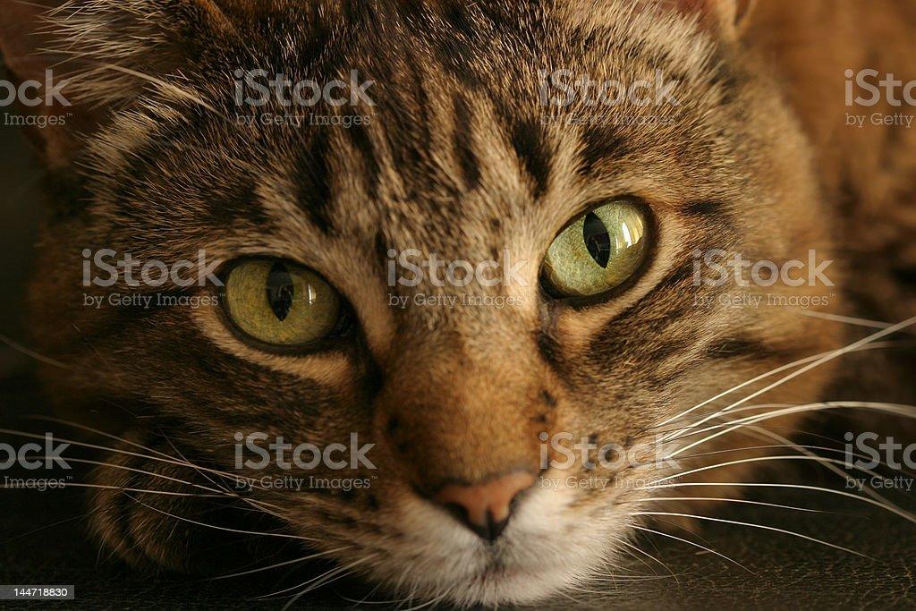 Tabby Cat Loves You royalty-free stock photo